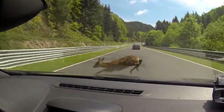 Los peligros de Nürburgring y los animales