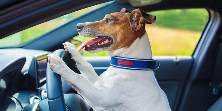 Conductor ebrio asegura que era su perro quien conducia