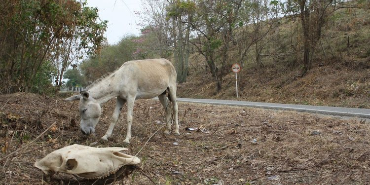 Los peligrosos animales que se atraviesan en las vías