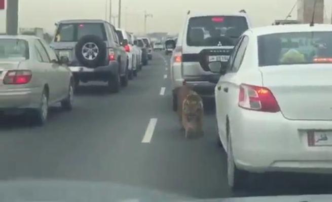 Tigre suelto se pasea por una autopista en Qatar